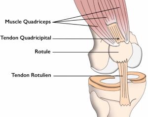 Tendon quadricipital